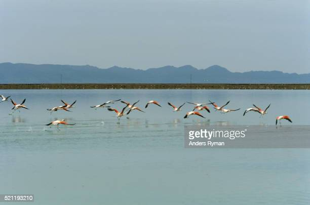 Flamingos Taking Off from Reservoir
