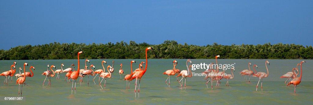 Flamingos wade in ocean near their nesting gounds : Stock Photo