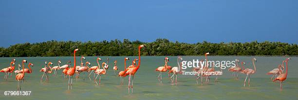 flamingos wade in ocean near their nesting gounds - timothy hearsum stock pictures, royalty-free photos & images