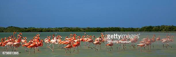 flamingos wade in ocean near their nesting grounds - timothy hearsum fotografías e imágenes de stock