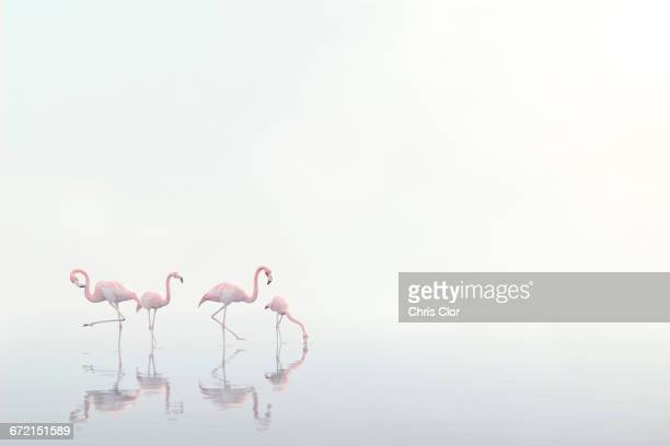 flamingos wading in foggy water - flamingo stock pictures, royalty-free photos & images