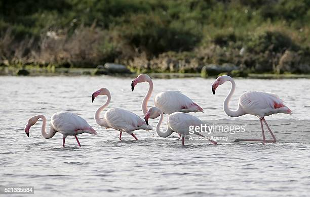 Flamingos walk on the shore of Gediz Delta in Izmir Turkey on April 15 2016 Flamingos largest colony of Izmir bird paradise took their place in the...