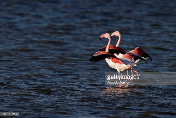 Flamingos walk over Gediz River at Bird Paradise in Izmir Turkey on October 5 2017 Flamingos largest colony of Izmir bird paradise took their place...