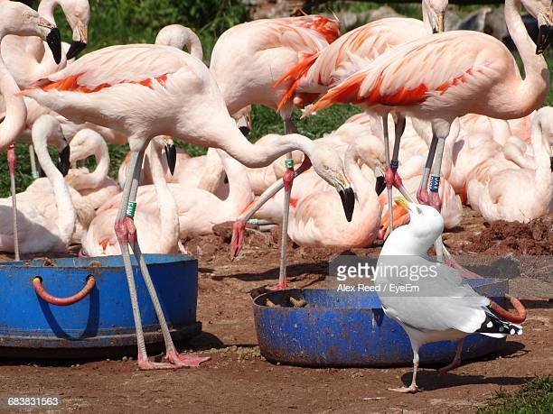 Flamingos With Seagull On Field