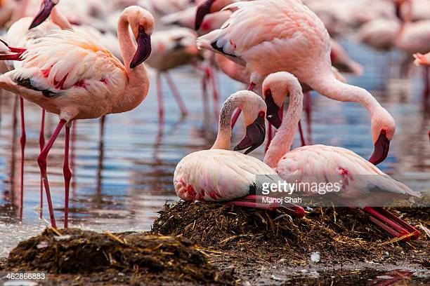 Flamingos with their nests