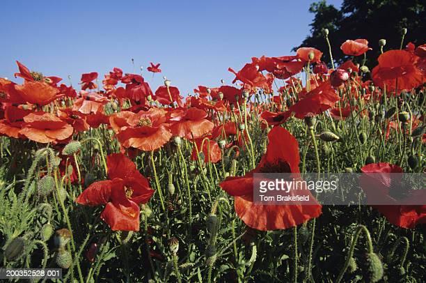 Flanders or red corn poppies (Papaver rhoeas), wildflowers