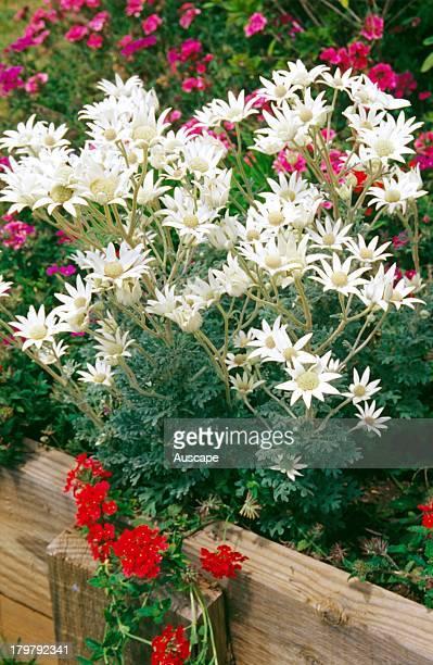 Flannel flowers Actinotis helianthi in a garden bed Australia