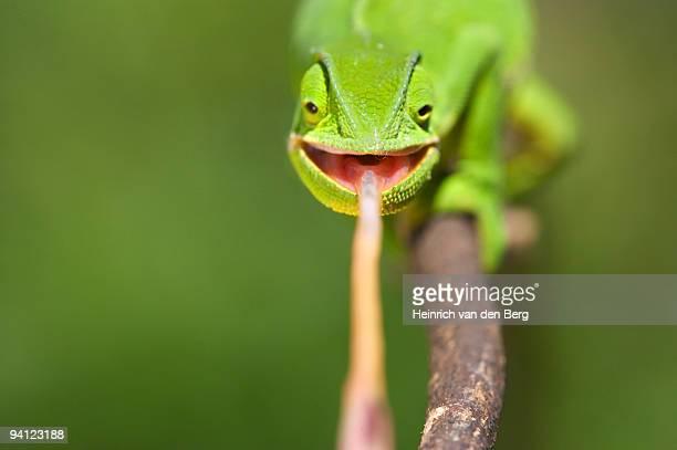 Flap-necked Chameleon (Chamaeleo dilepis) catching prey