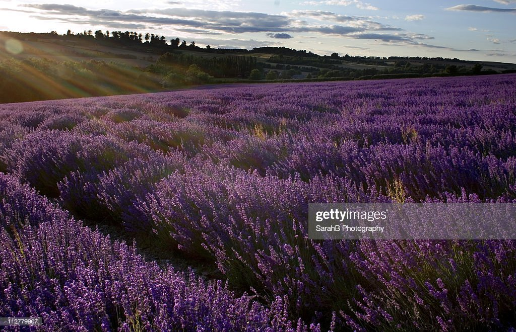 Flare over Lavender fields in Kent, UK : Stock Photo