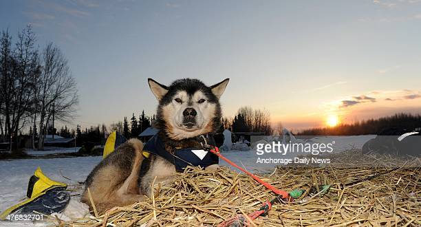 Flash a team dog for musher Mike Williams Jr rests on his bed of straw at the Nikolai checkpoint during the 2014 Iditarod Trail Sled Dog Race at...