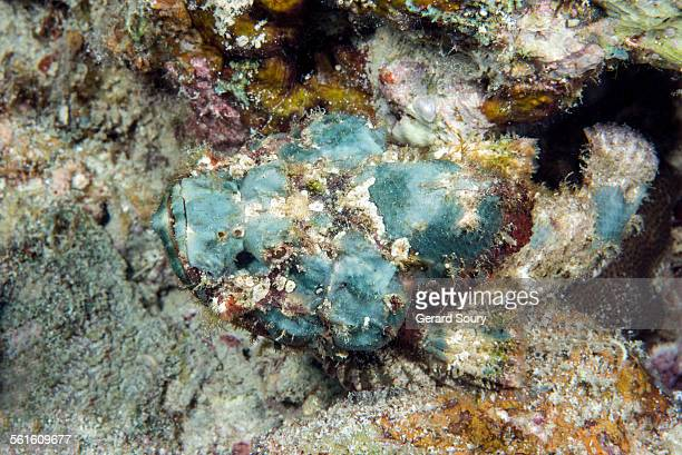flasher scorpionfish in ambush - flasher stock pictures, royalty-free photos & images