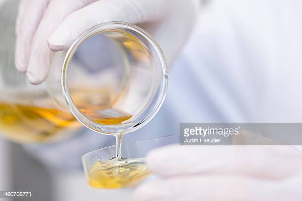 Flask with growth medium (agar-medium) being poured into petri dish. Bacterial growth