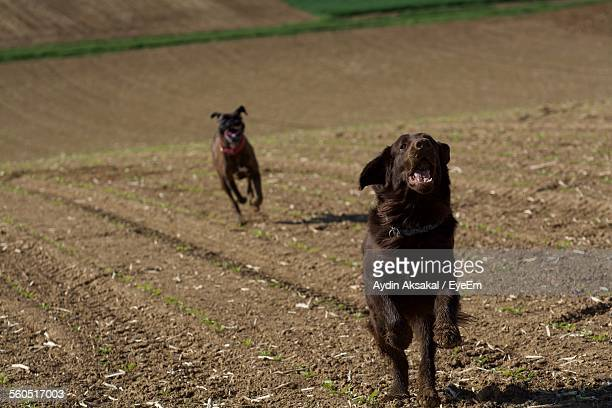 Flat Coated Retrievers Running On Field