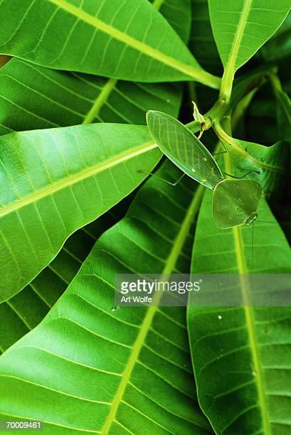 Flat green leaf mantis PANAMA