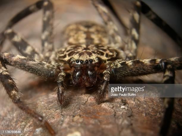 flat huntsman spider macro - huntsman spider stock pictures, royalty-free photos & images