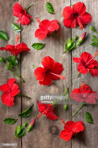 flat lay view of hibiscus flowers. - hibiscus stock pictures, royalty-free photos & images