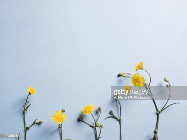 flat lay with yellow dandelion flowers on light blue background. - gras stock pictures, royalty-free photos & images