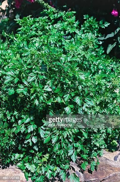 Flat leaf Parsley , Apiaceae.