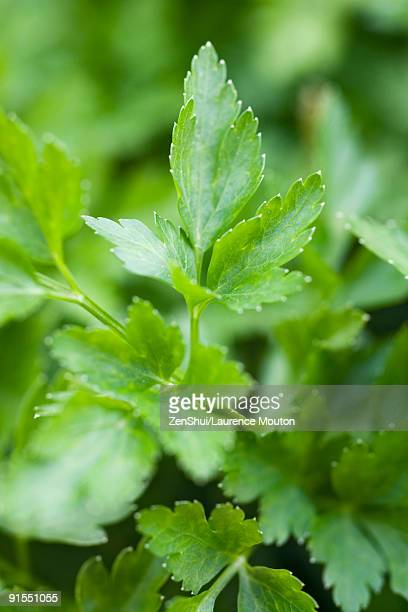 flat leaf parsley growing, close-up - flat leaf parsley stock pictures, royalty-free photos & images