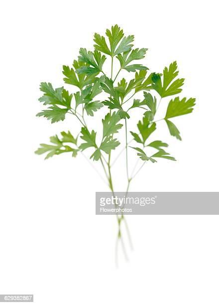 Flat leaf parsley Petroselinum neapolitanum