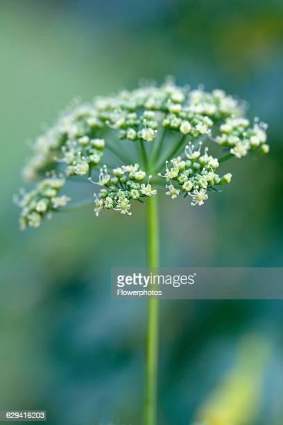Flat leaf parsley, Petroselinum neapolitanum.