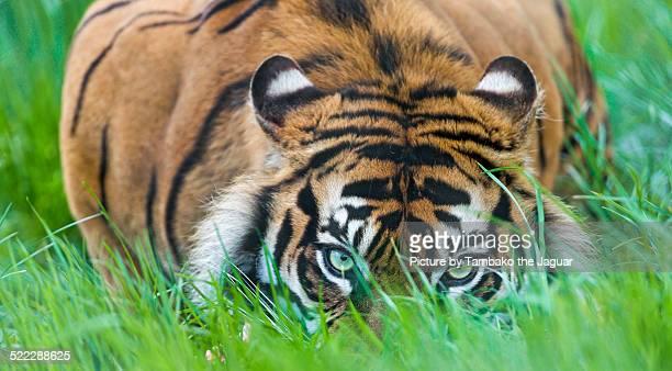 Flat Sumatran tigress in the grass