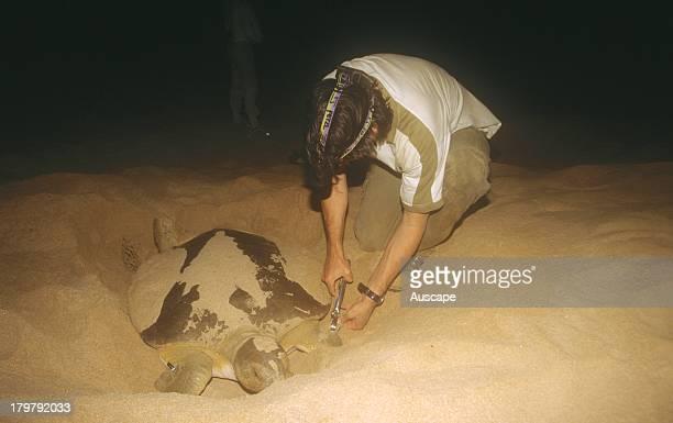 Flatback turtle, Natator depressus, being tagged by researchers at night, Near Karratha, Western Australia