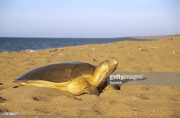 Flatback turtle, Natator depressus, coming ashore to lay eggs, Munda Station near Port Hedland, Western Australia