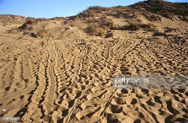 Flatback turtle, Natator depressus, many tracks in beach dunes, Near Karratha, Western Australia