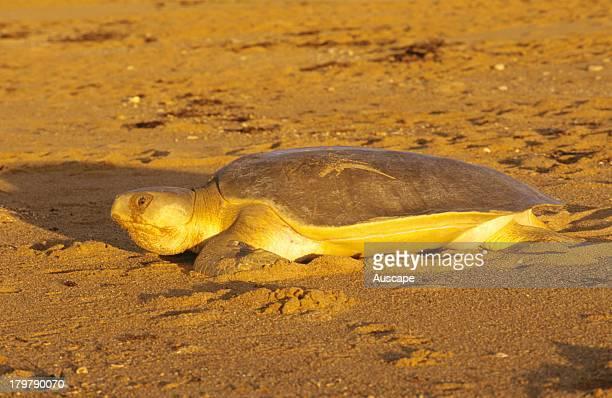 Flatback turtle, Natator depressus, moving up beach to dig nesting hole, Munda Station near Port Hedland, Western Australia