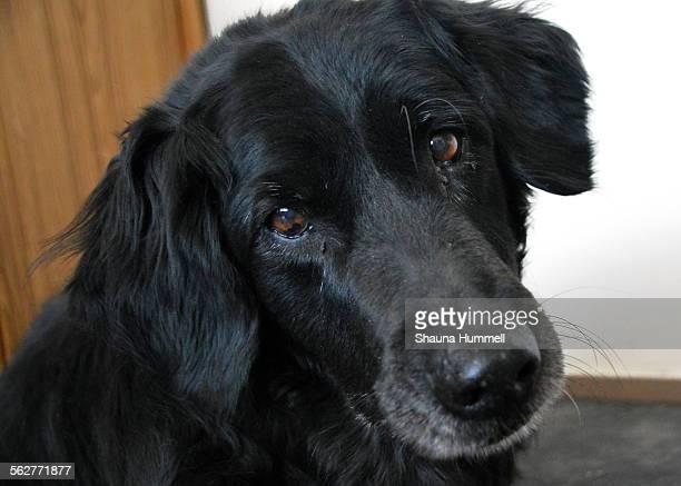 flatcoated retriever dog - lisa sparks - fotografias e filmes do acervo
