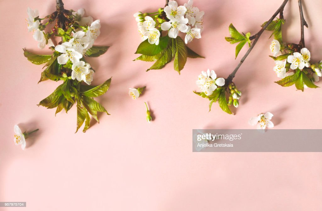 Flat-lay of pear blossom flowers over light pink background : Stock Photo