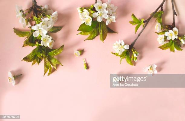 flat-lay of pear blossom flowers over light pink background - peach flower stockfoto's en -beelden
