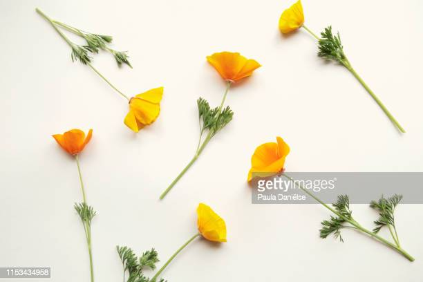flatlay with fresh flowers - california golden poppy stock pictures, royalty-free photos & images