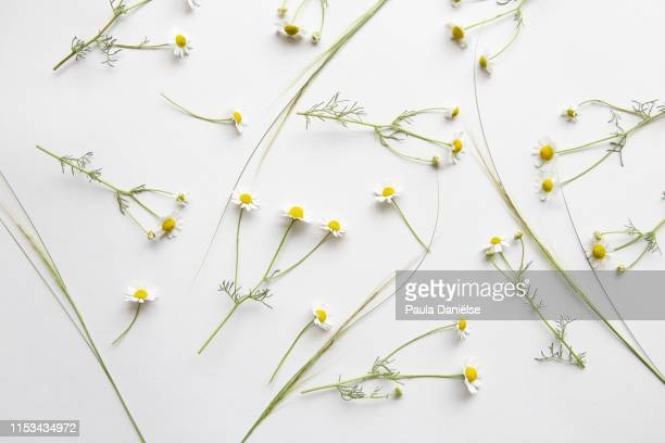 flatlay with fresh flowers - chamomile tea stock photos and pictures