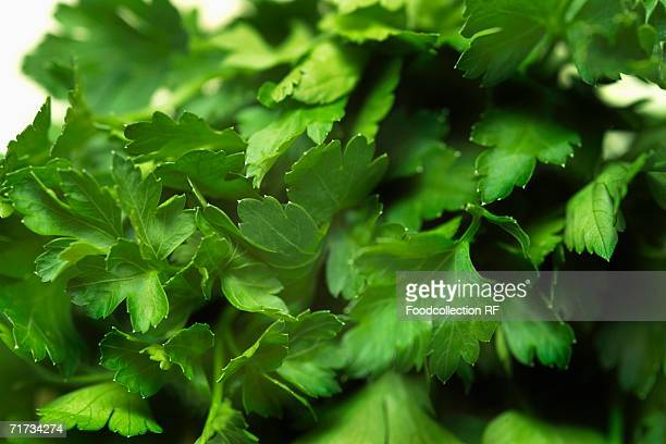 flat-leaf parsley (close-up) - flat leaf parsley stock photos and pictures