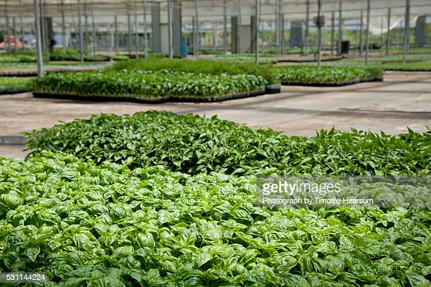 flats of basil and other herbs in a greenhouse - timothy hearsum fotografías e imágenes de stock