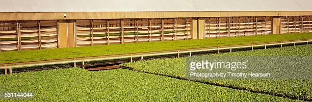 flats of bean plants in foreground, celery beyond - timothy hearsum stock pictures, royalty-free photos & images