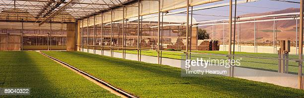 flats of vegetable transplants in greenhouse - timothy hearsum stock pictures, royalty-free photos & images