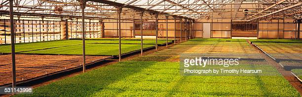 flats of young bell pepper plants in a greenhouse - timothy hearsum stockfoto's en -beelden