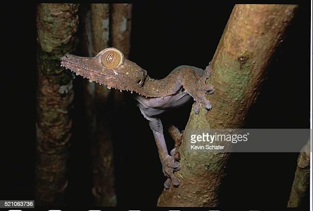 flat-tailed gecko - geco de cola plana fotografías e imágenes de stock