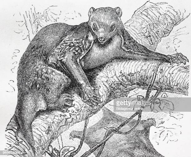 Flattermaki MalaienGleitflieger oder auch TemminckGleitflieger Cynocephalus variegatus Galeopterus variegatus Sunda flying lemur digital improved...