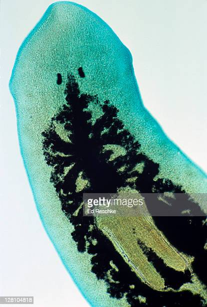 Flatworm, Dugesia, a planarian. Phylum Platyhelminthes. Shows eyespots, digestive tract and pharynx.