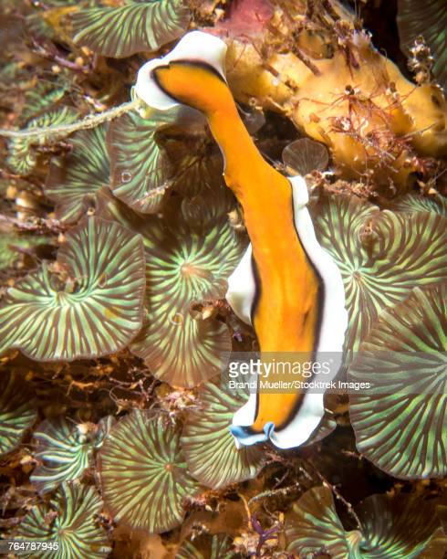 Flatworm in the Philippines.