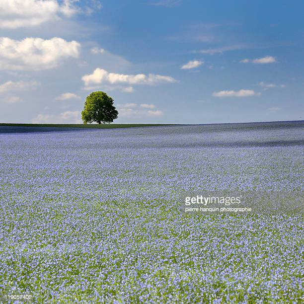 Flax field - champ de lin