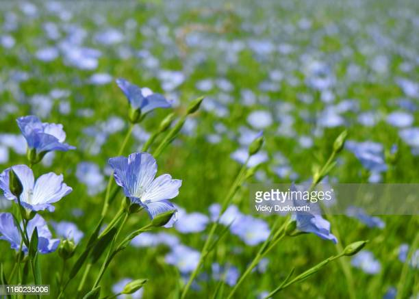 flax field - flax seed stock pictures, royalty-free photos & images