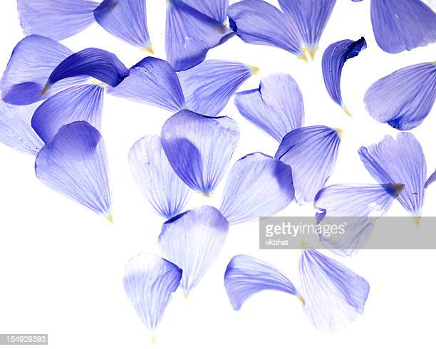 flax flower petals - translucent stock pictures, royalty-free photos & images