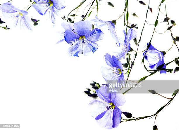 flax flowers - translucent stock pictures, royalty-free photos & images