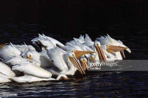 Flcok of American White Pelicans feeding