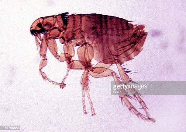 Flea Jumping Insect Which Was Responsible For Spreading The Plague From Infected Rats To Man Microscopic Image 200X